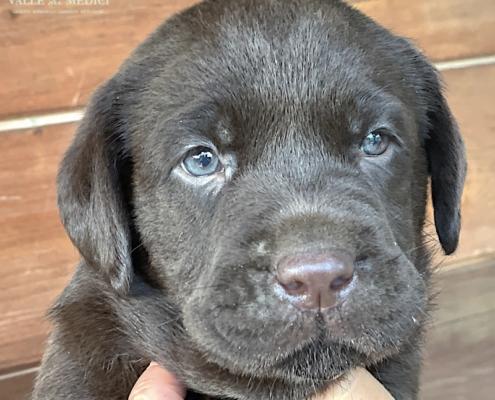 labrador maschio cucciolo pumbaa